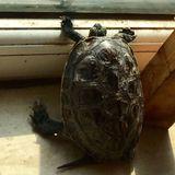 趴窗看雨的小龟