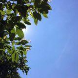 Sunshine大头芝麻